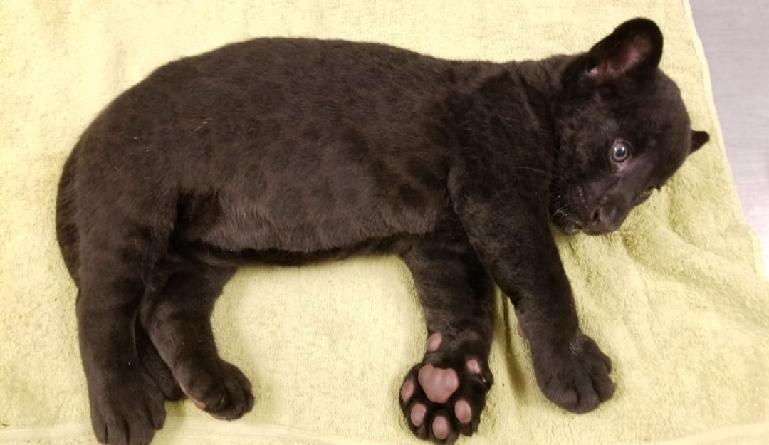 Jaguar culichi; nace cachorro en zoológico de Culiacán