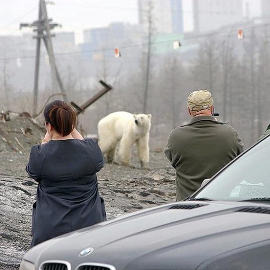 Cansado y hambriento fue captado un oso polar en busca de comida