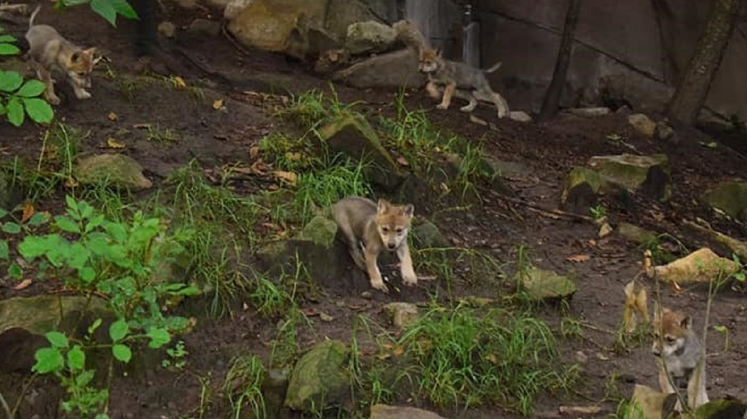 Nacen lobos mexicanos en el zoológico de Chapultepec en la CDMX