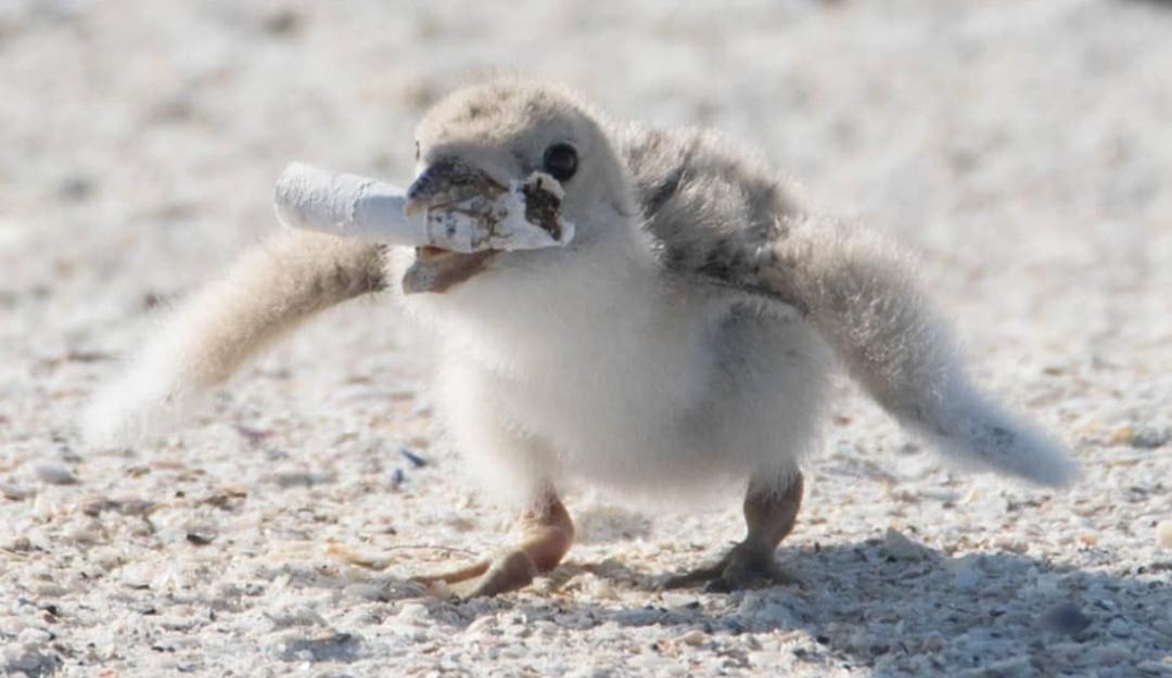 Esto no puede seguir así; ave alimenta a su cría con colilla de cigarro