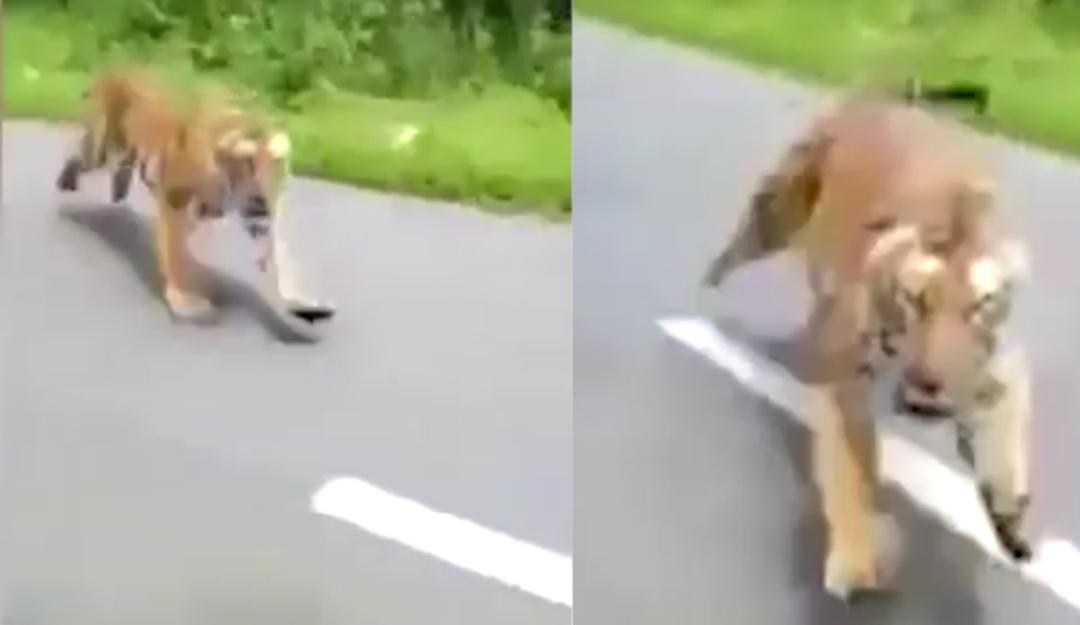 Así reaccionó un tigre contra motociclistas que cruzaron reserva natural