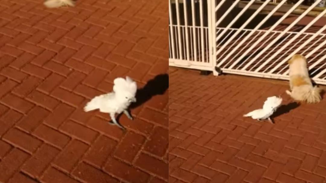 Sorprende cacatúa que aprende a ladrar al convivir con perros