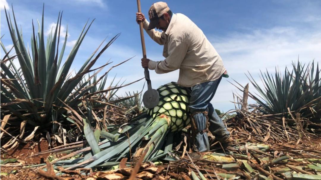 Buscan detonar turismo agavero en la zona de Los Altos de Jalisco