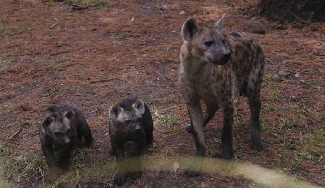 ¡Vamos al zoológico! Por primera vez, nacen hienas