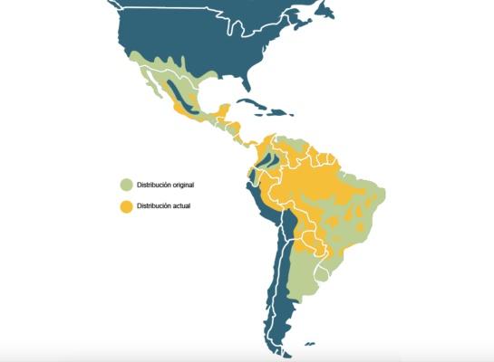Salvando al jaguar: la misión de científicos mexicanos dentro de la selva