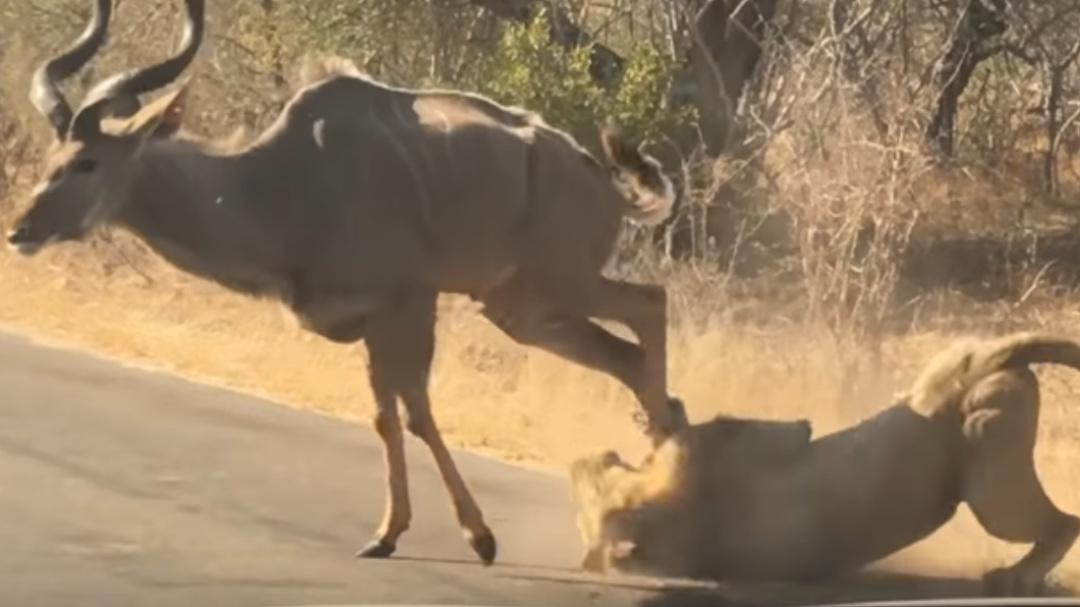 Automovilistas captan a antílope luchando por su vida ante un león