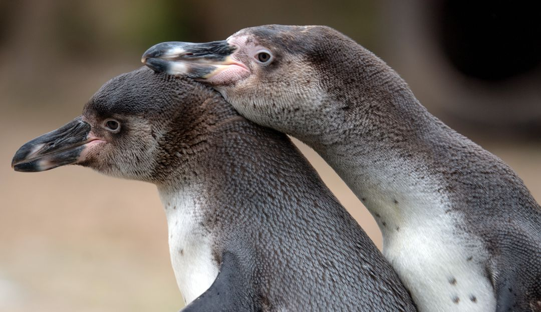 Extraordinario; esta pareja de pingüinos gay adopta huevo para cuidarlo