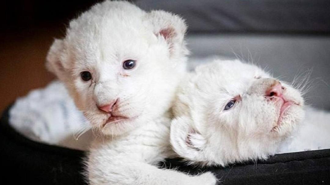 Simba y Nala, los leones blancos que acaban de nacer