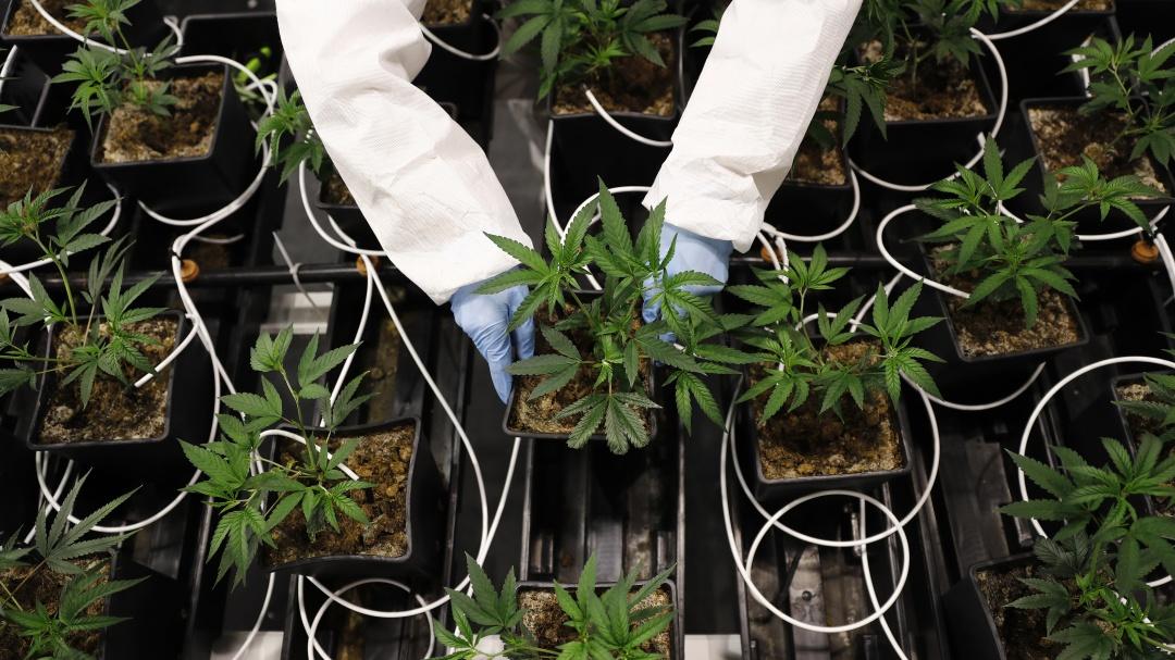 Uso de cannabis con respaldo científico: AMEXICANN