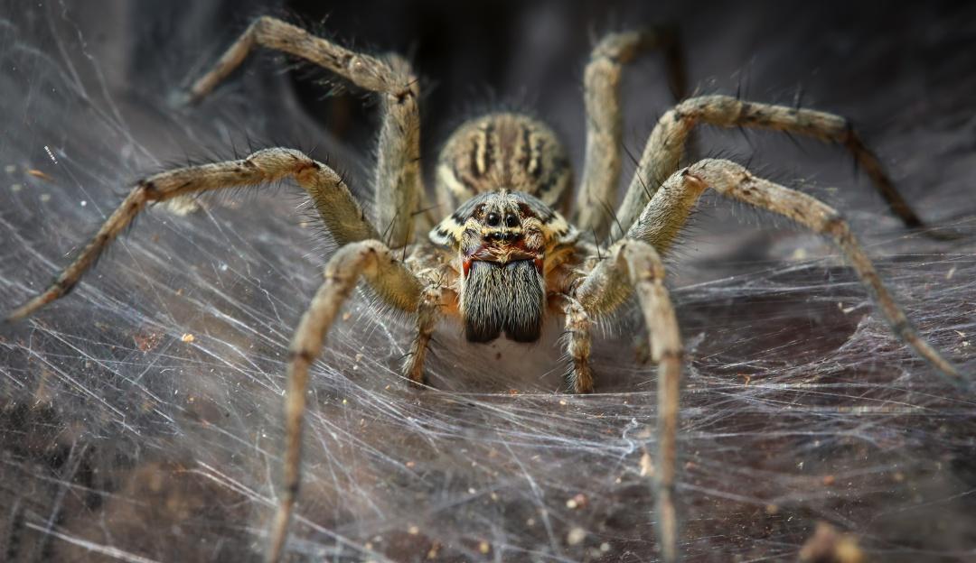 El cambio climático estaría volviendo más agresivas a las arañas