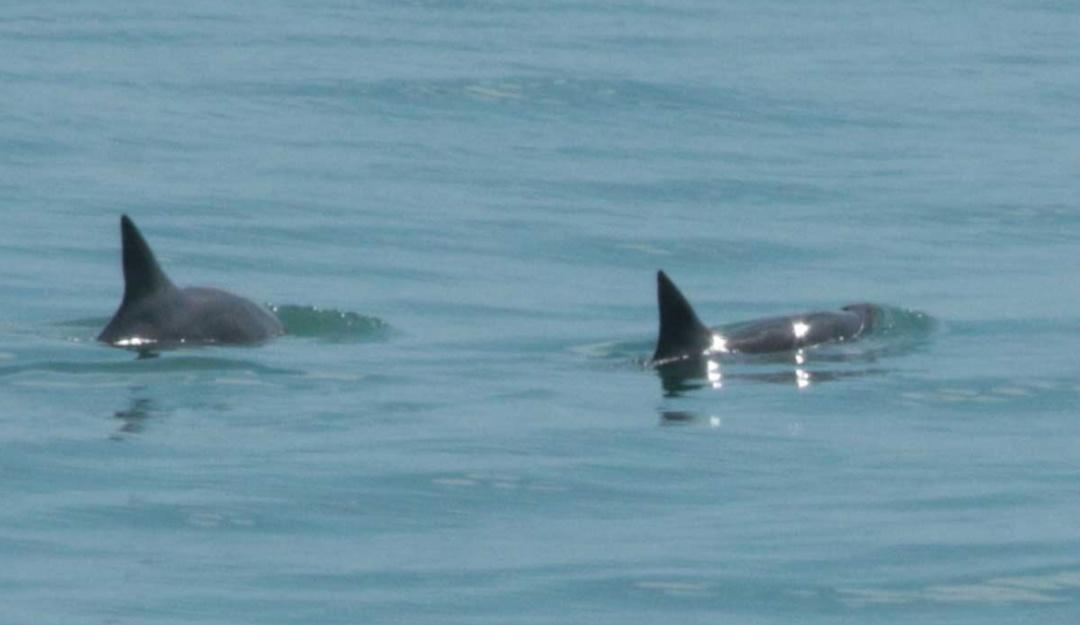 Se logra el avistamiento de seis vaquitas marinas