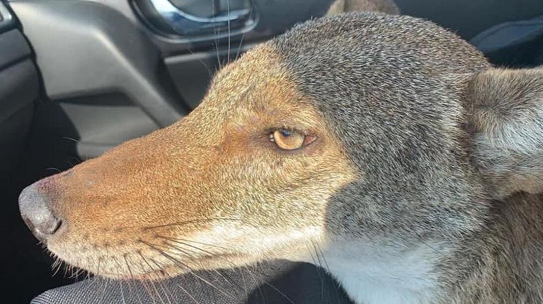 Pensó que había rescatado a un perrito, pero en realidad era un coyote