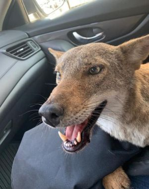 Pancho, el coyote rescatado