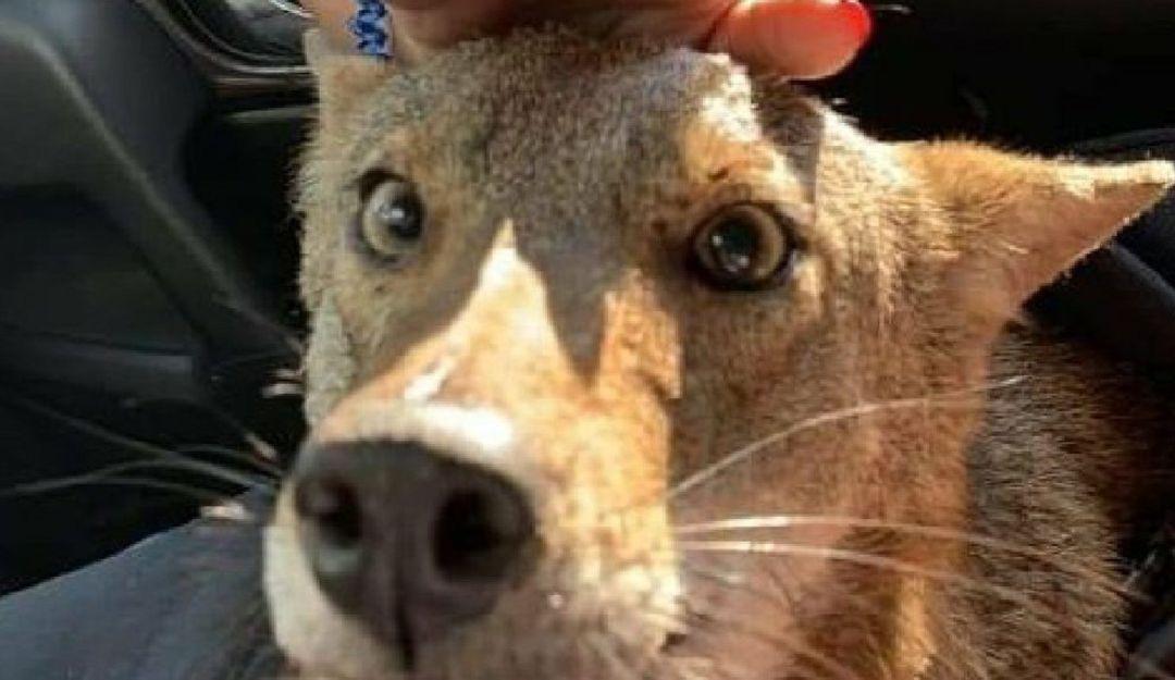 pancho-el-coyote-confundido-con-un-perro-murio
