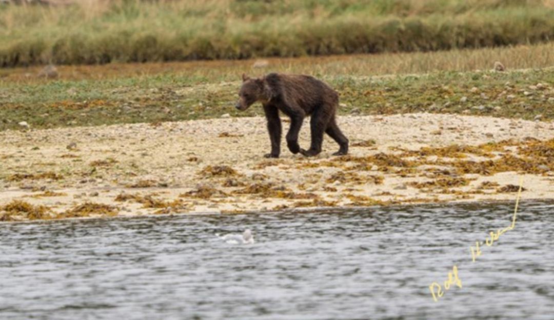 Demacrados y desnutridos fue captada una familia de osos grizzly en Canadá
