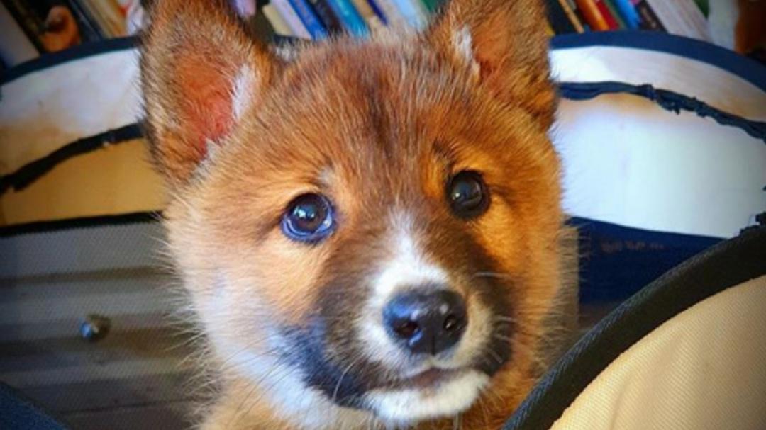Familia encuentra un cachorrito herido y resultó ser un animal casi extinto