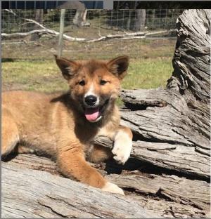 El dingo es comúnmente descrito como un perro salvaje australiano