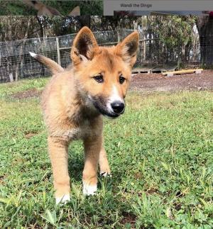 Los dingos no ladran tanto como los perros ordinarios, los dingos aúllan mucho y frecuentemente