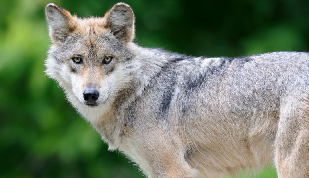 No todo está perdido; cachorritos de Lobo Mexicano continúan naciendo