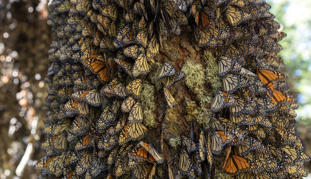 Santuarios de la mariposa monarca; todos los detalles para que los visites