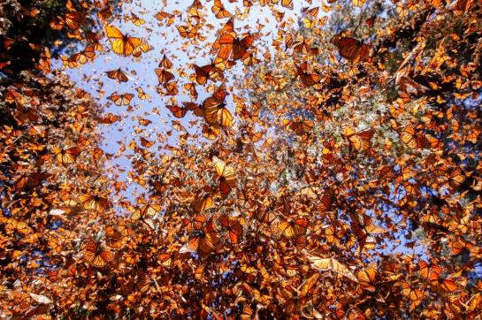Es recomendable que visites el santuario de la mariposa monarca durante las primeras horas de la mañana entre 9:00 y 10:00 que es cuando las mariposas están más activas y voladoras