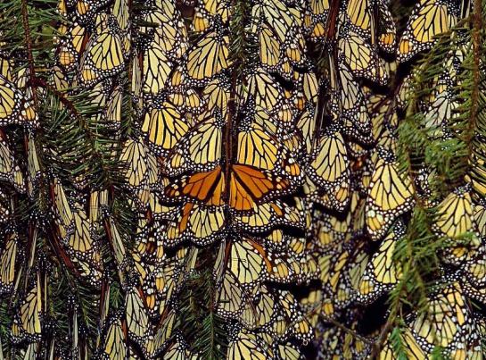 Cada año los santuarios de las mariposas son visitados por miles de turistas tanto nacionales como extranjeros, lo cual constituye uno de los atractivos más importantes del estado
