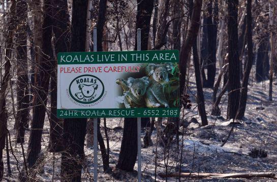 Australia-koalas-sufren-incendio-en-bosque