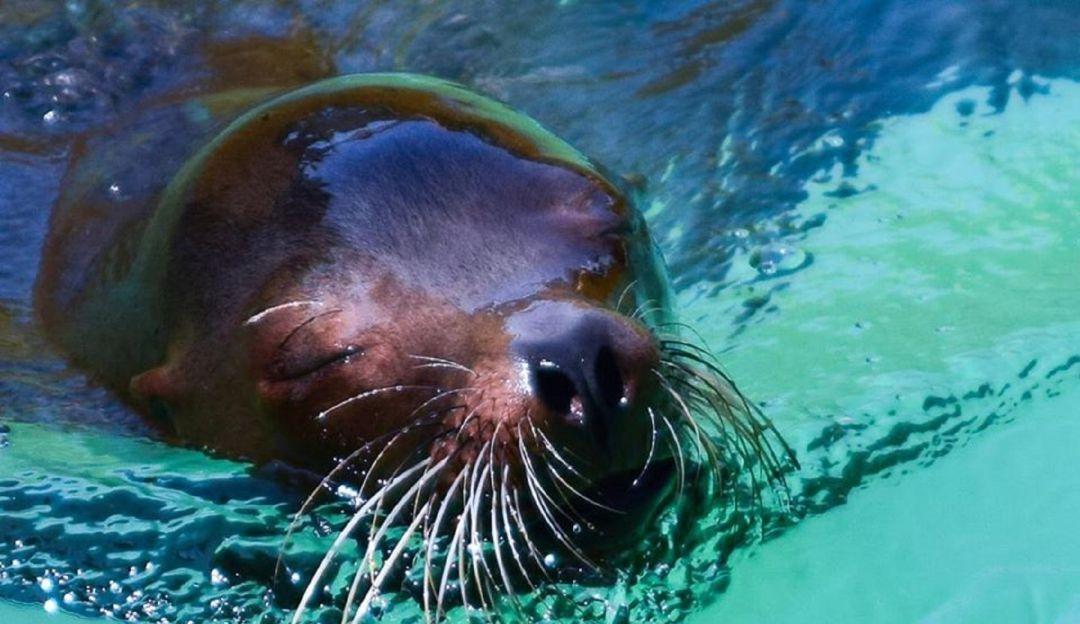 Lamentable; zoológico anuncia que su loba marina falleció
