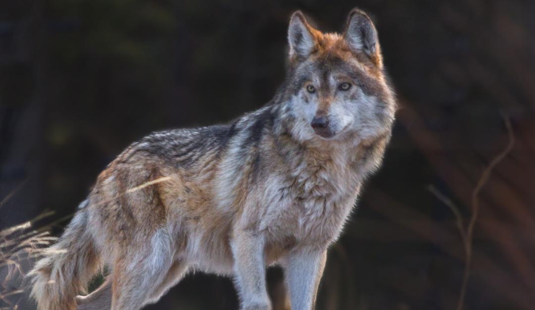 Todavía hay esperanzas; Lobo Mexicano sale de la lista de especies extintas