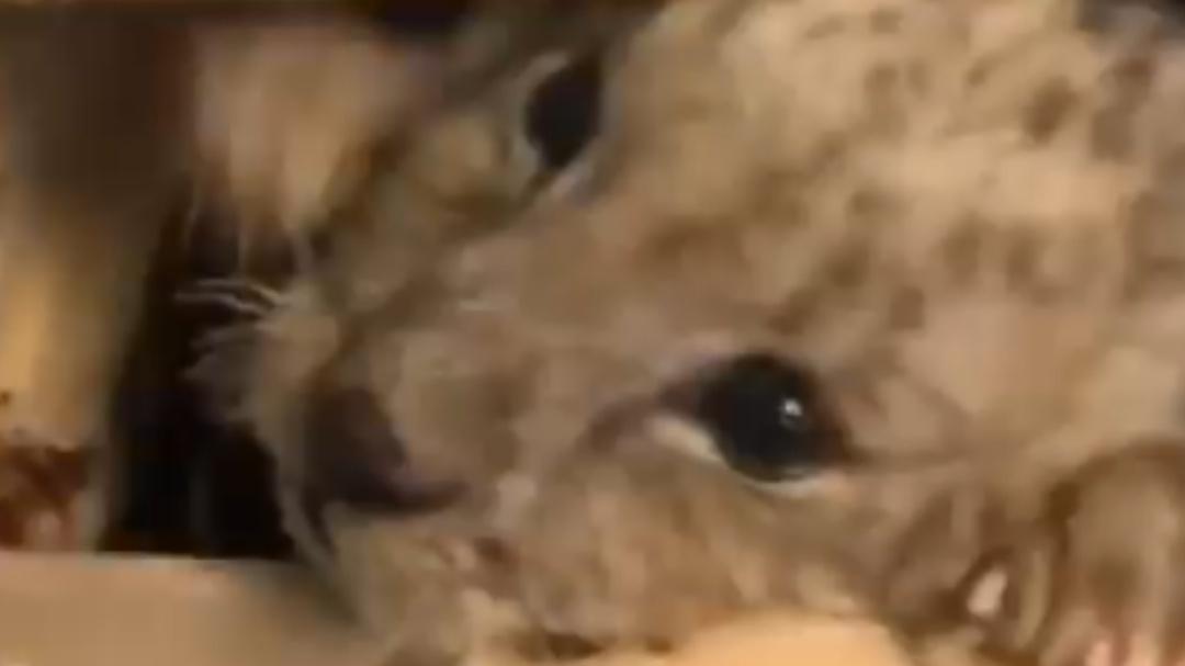 Guardia Nacional rescata cachorrito de león africano en Tijuana