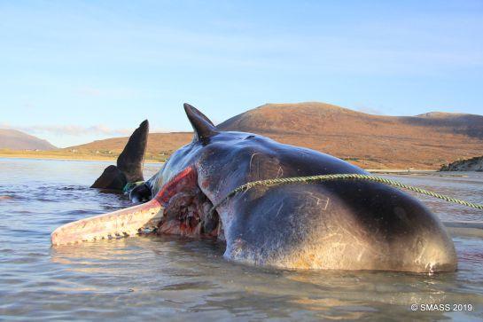Ambientalistas realizaron una necropsia al animal que murió luego de quedar varado en la playa Seilebost
