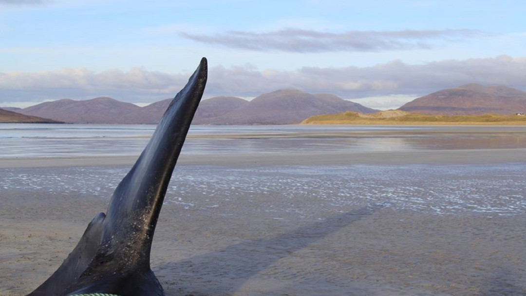 Encuentran casi 100 kilos de basura en el estómago de una ballena