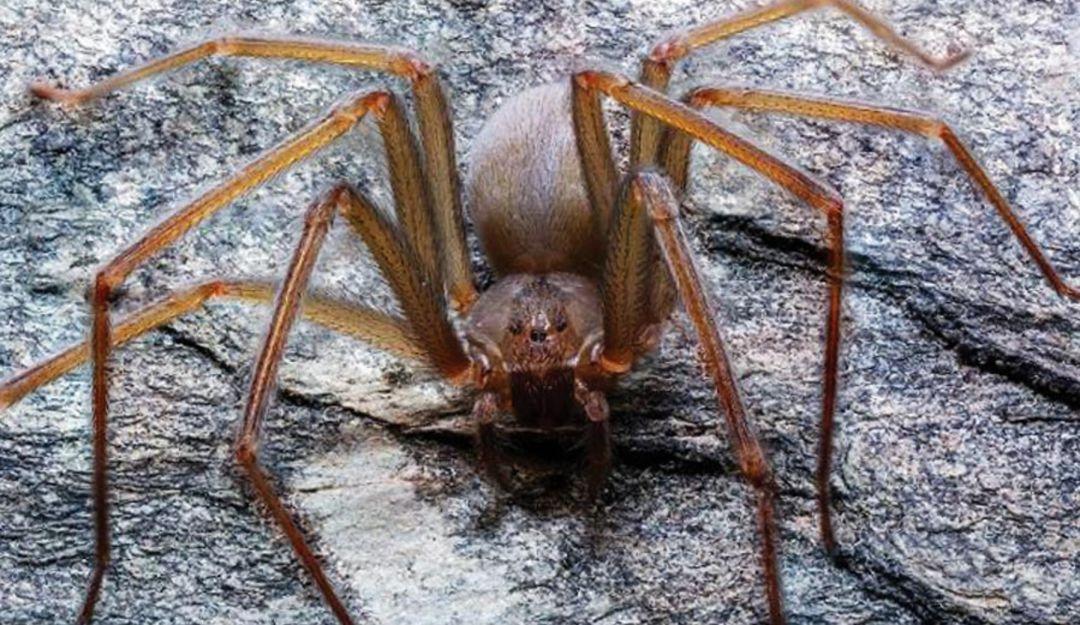 Descubren nueva especie de araña violinista de Valle de México