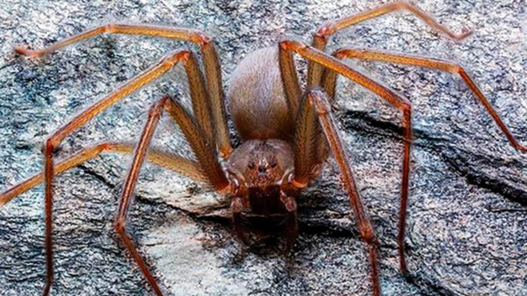 """SOPITAS: Araña violinista, también conocida como """"Loxosceles Tenochtitlan"""""""