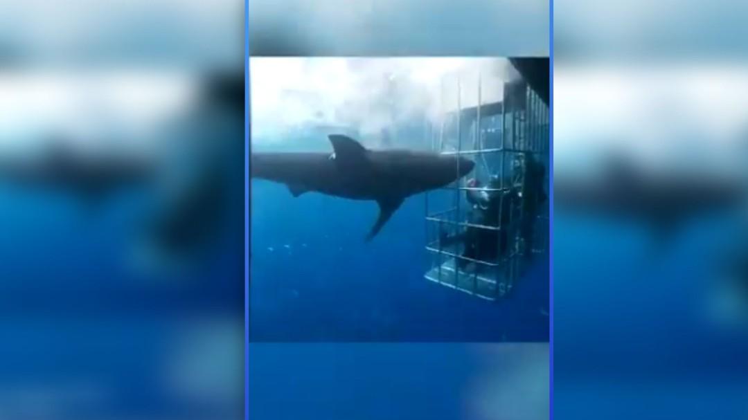 Terrible; Tiburón blanco se atora en jaula y pierde la vida
