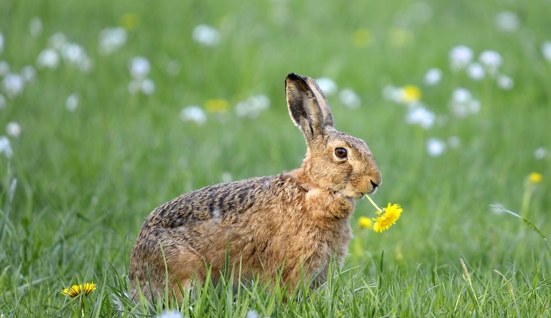 Ahora el conejo está en la lista roja de especies en peligro de extinción