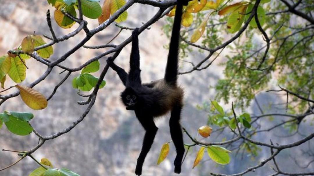 SOPITAS: Llega al Cañón del Sumidero una cría hembra de mono araña