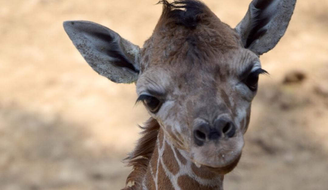 Buscan nombre; nace jirafa bebé en el Zoológico de Chapultepec