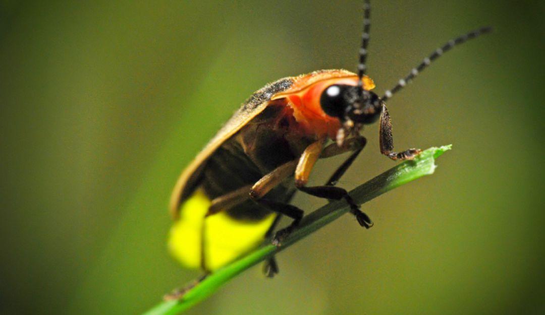Las luciérnagas se encuentra en peligro de extinción