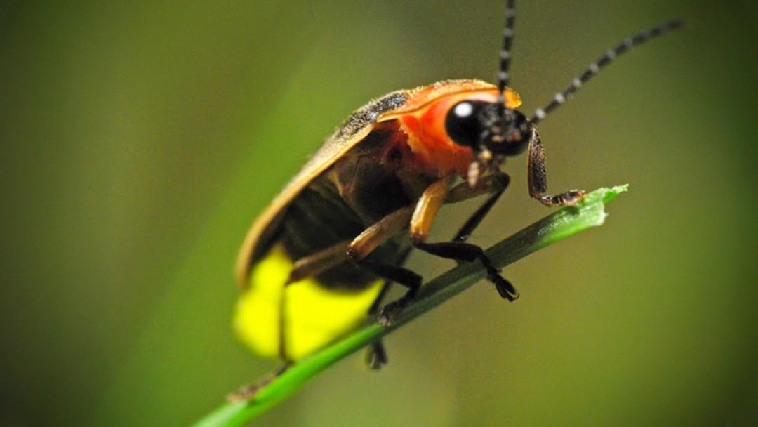 Las luciérnagas se encuentran en peligro de extinción