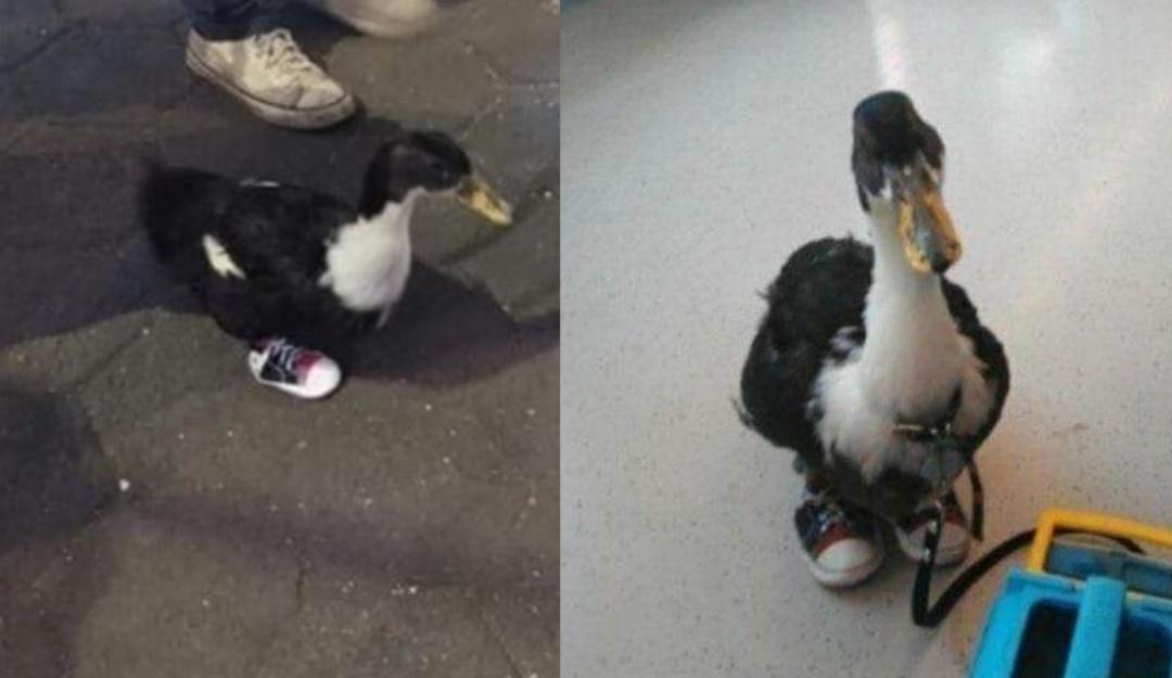 El pato con tenis que ha sorprendido a usuarios del Metro de la CDMX