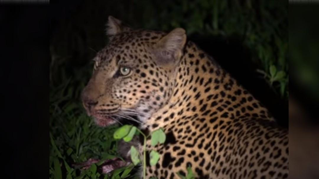 Impresionante; Leopardo roba comida a un cocodrilo mientras dormía