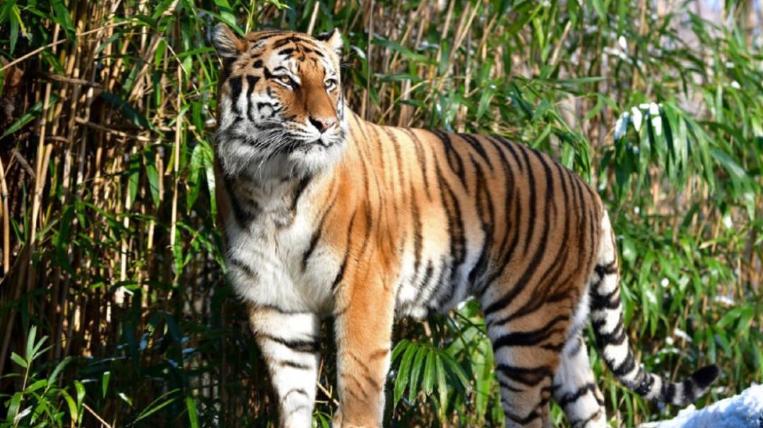 Un tigre da positivo por coronavirus en Zoológico del Bronx en Nueva York