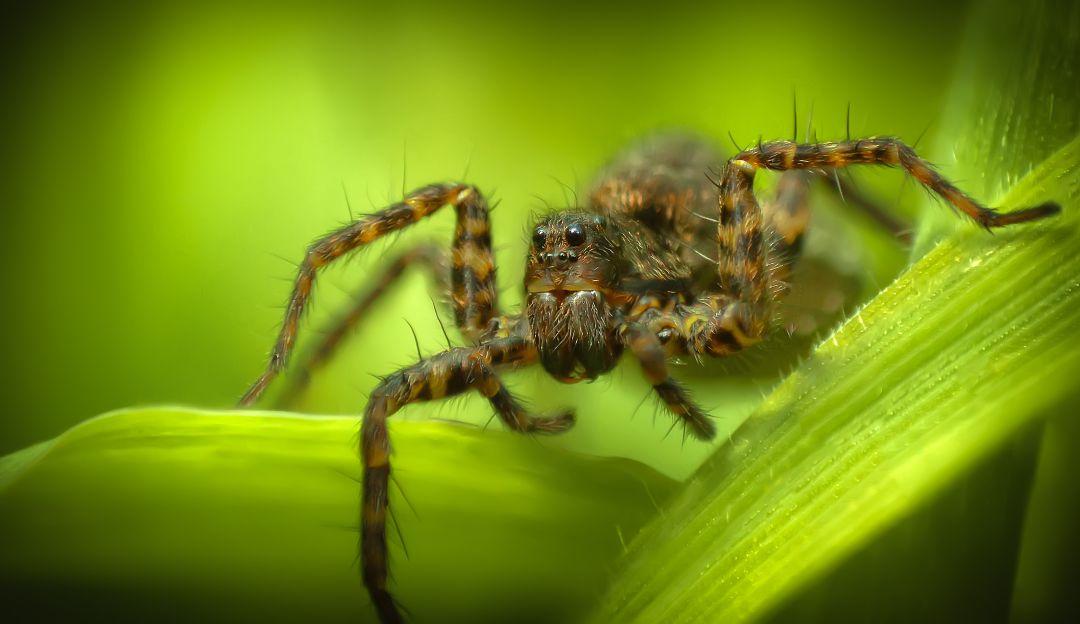 De terror; arañas de lobo en el Ártico se están devorando a falta de comida