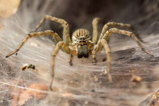 Analizaron las dietas de varias arañas hembras en la naturaleza mediante el análisis de isótopos estables