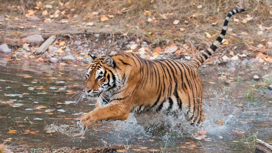 Tigre suelto en Jalisco es capturado con lazo al estilo charro