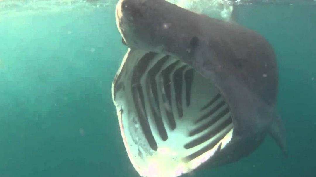 Tiburón peregrino, el segundo más grande del mundo fue captado a menos de 4