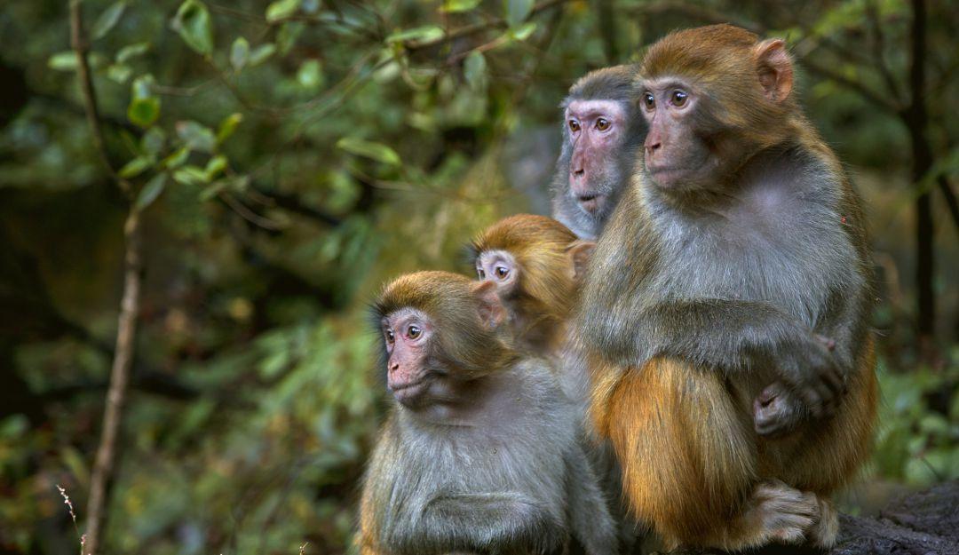 Estudios demuestran que macacos pueden generar inmunidad contra coronavirus