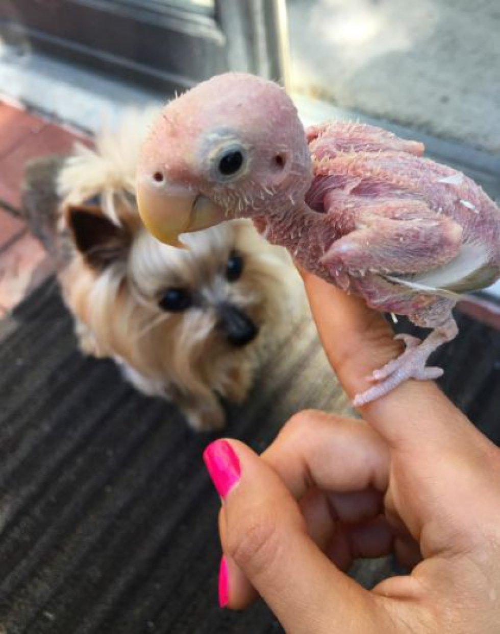 El ave no necesita grandes cuidados a pesar de su condición.
