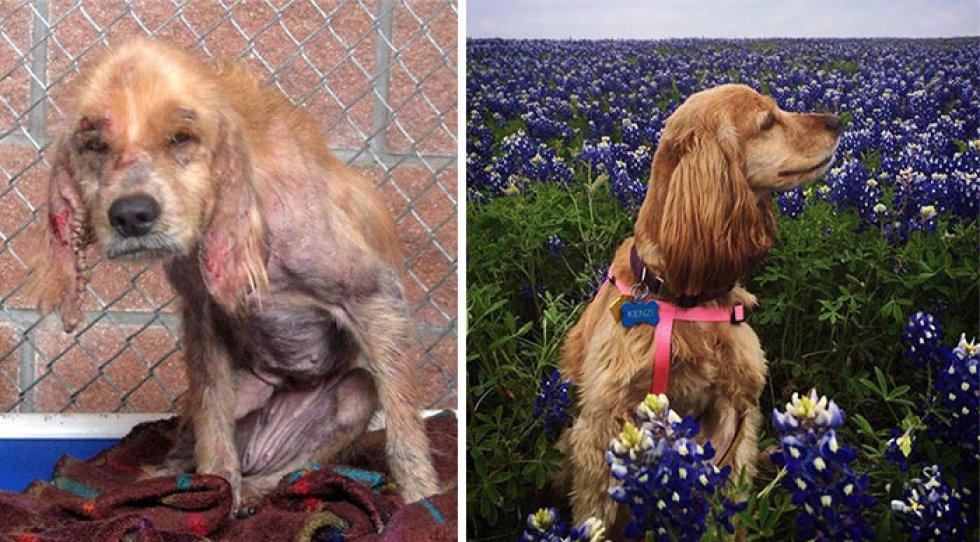 Kenzi era un cocker spaniel maltratado, su transformación fue gracias al cariño